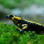 Salamandra maculata